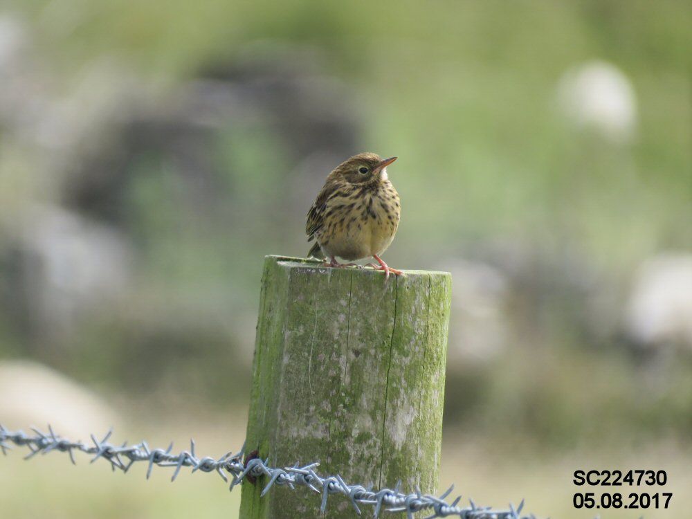 Meadow Pipit (Sheila Norris)