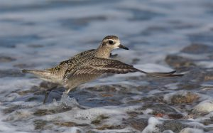 American Golden Plover (Peter Christian)