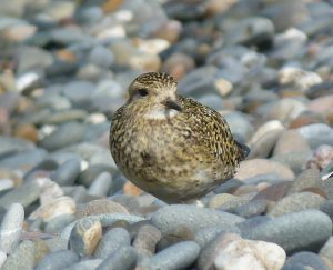 Golden Plover (David Wright)