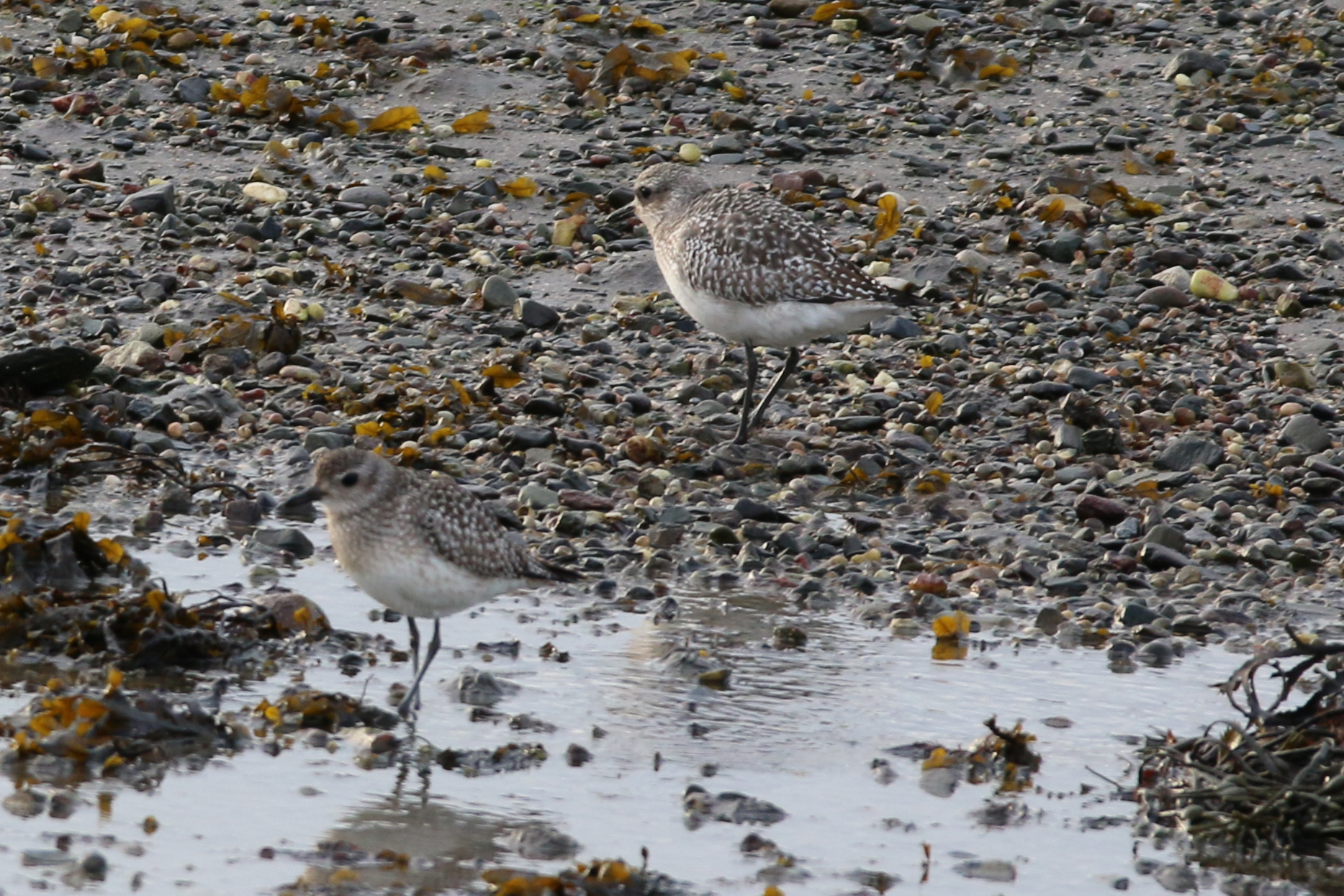 Grey Plover (Brian Kelly)