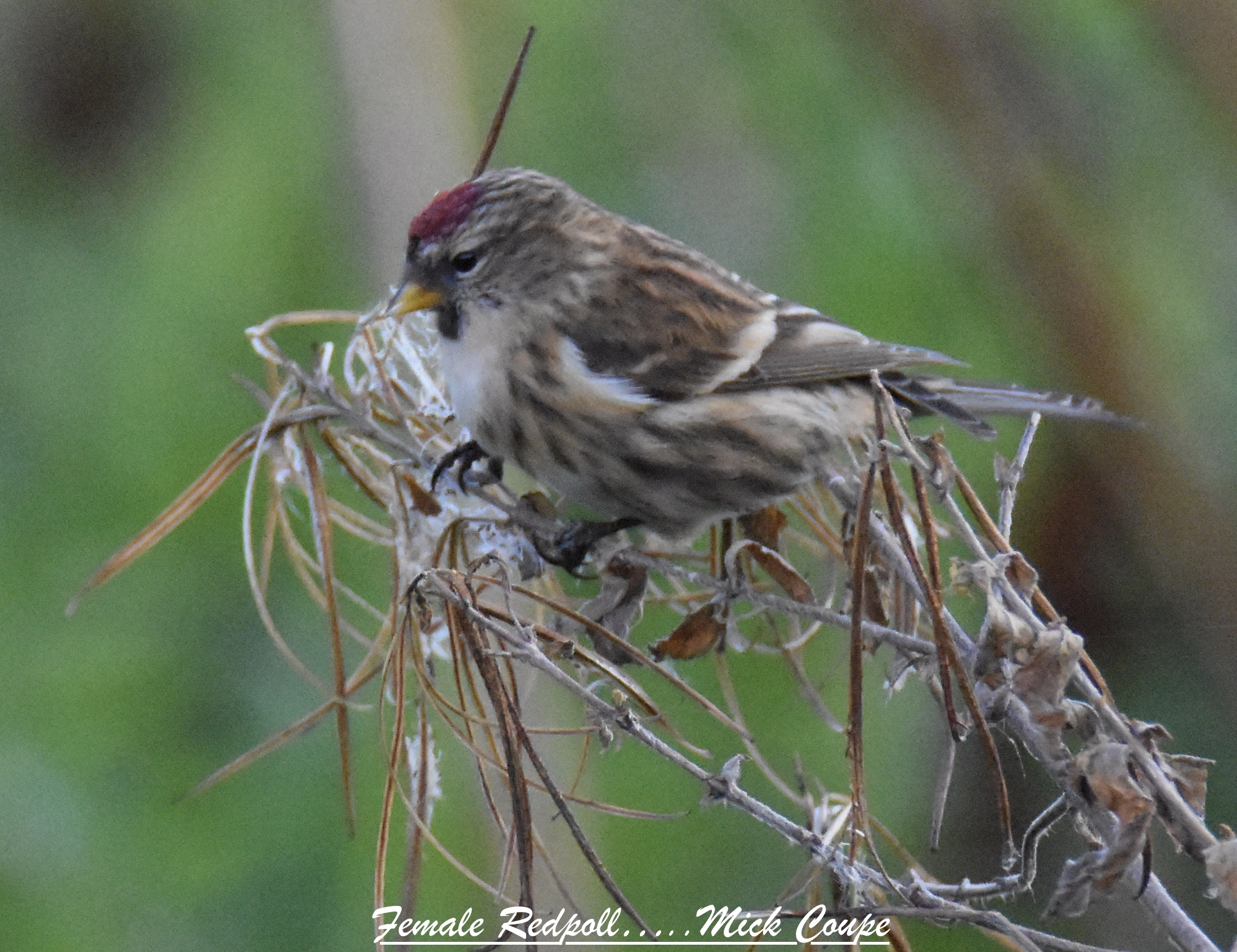 Redpoll (Michael Coupe)