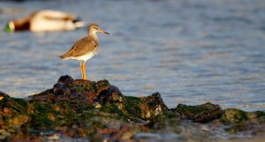 Redshank (Shelley Kilpatrick)