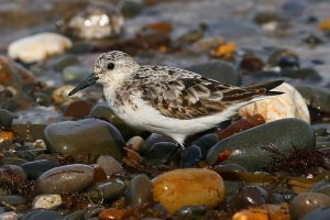 Sanderling (John Donnelly)