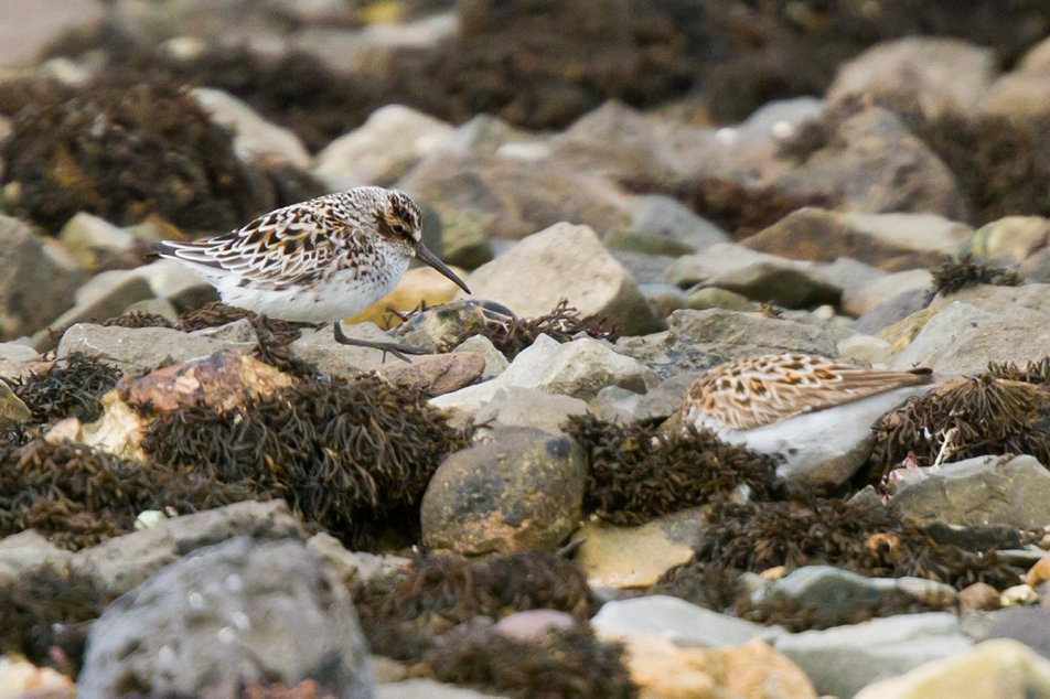 Broad-billed Sandpiper (Neil G Morris)