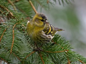 Siskin (John Donnelly)