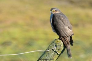 Sparrowhawk (Brian Liggins)