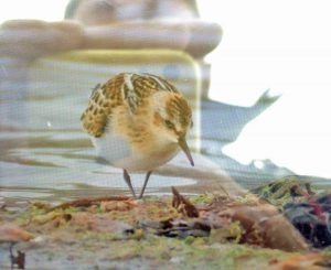Little Stint BOC (Brian Liggins)