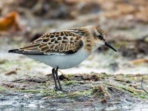Little Stint (Brian Liggins)