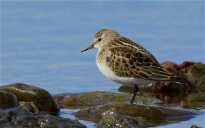 Little Stint (Peter Christian)