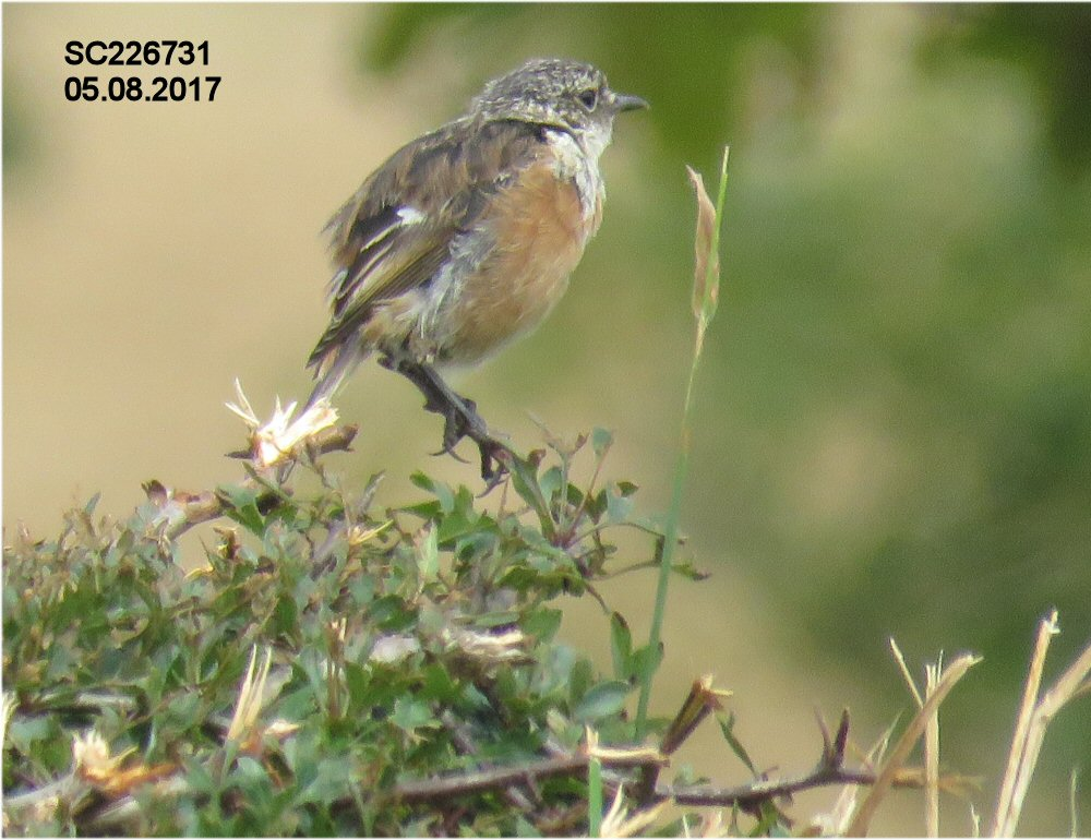 Stonechat (Sheila Norris)