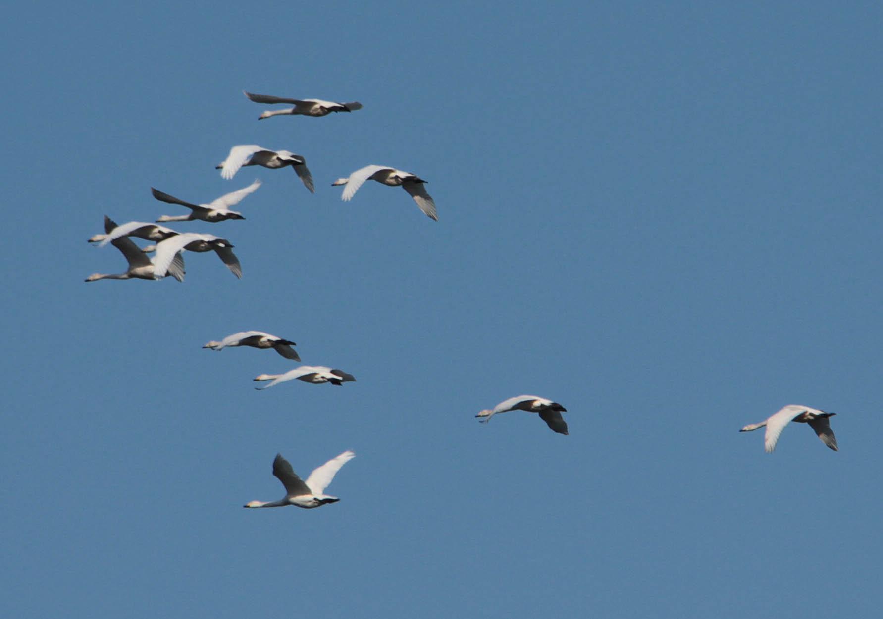 Whooper Swans (Beryl Quayle)
