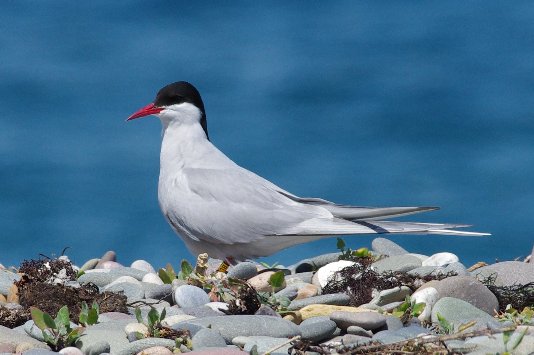 Arctic Tern (David Brimfield)