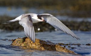 Arctic Tern (Peter Christian)