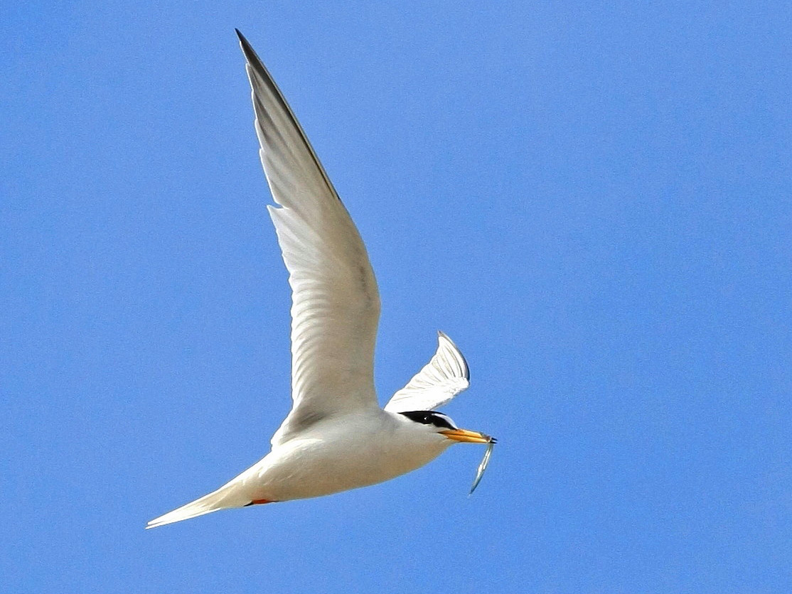 Little Tern (Dave King)