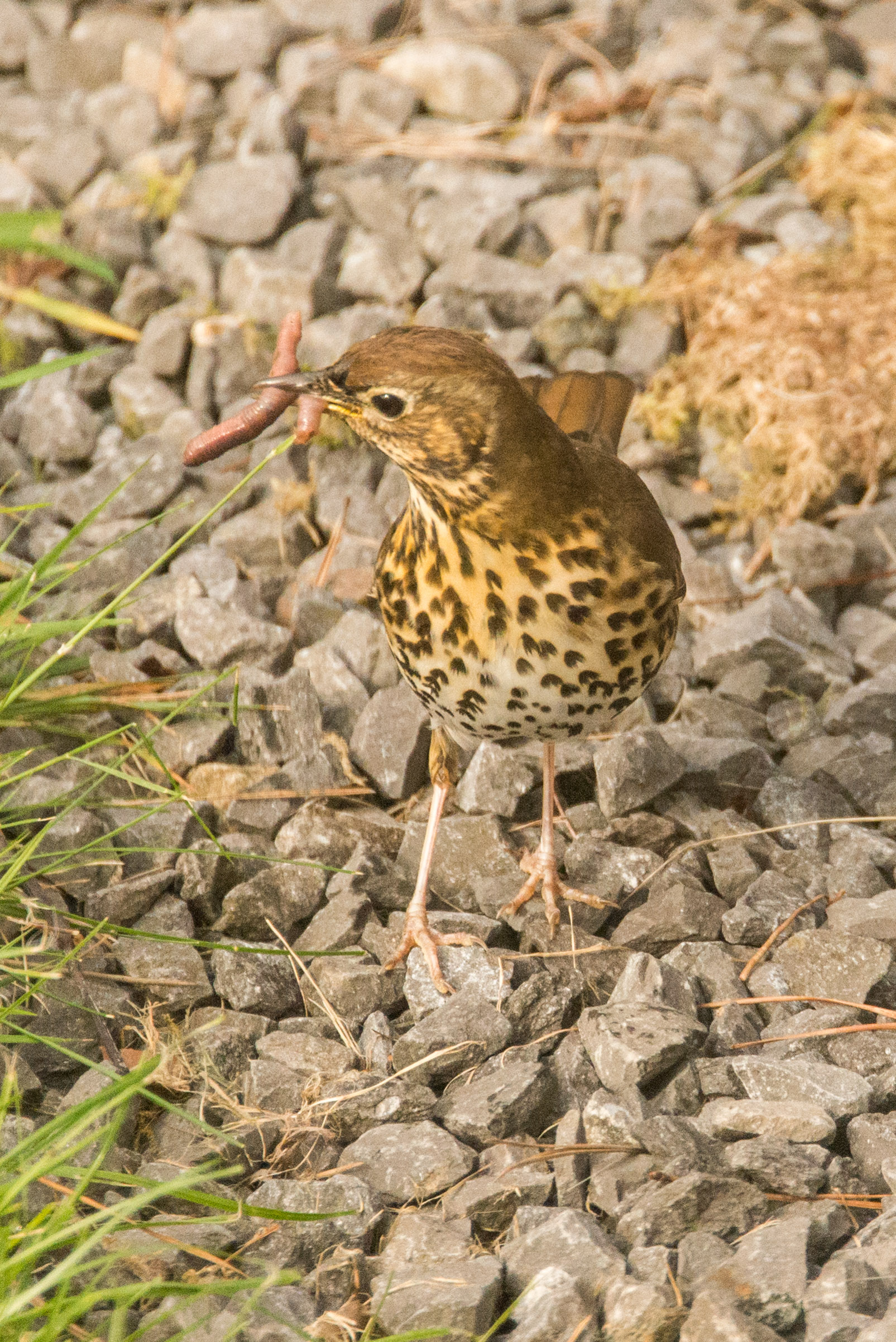 Song Thrush (Graham Harvey)