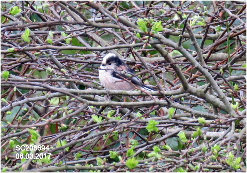 Long-tailed Tit (Sheila Norris)