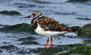 Turnstone (John Donnelly)