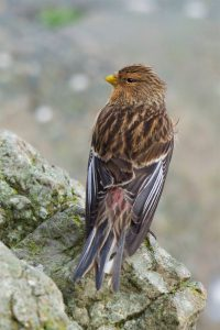 Twite (Peter Christian)
