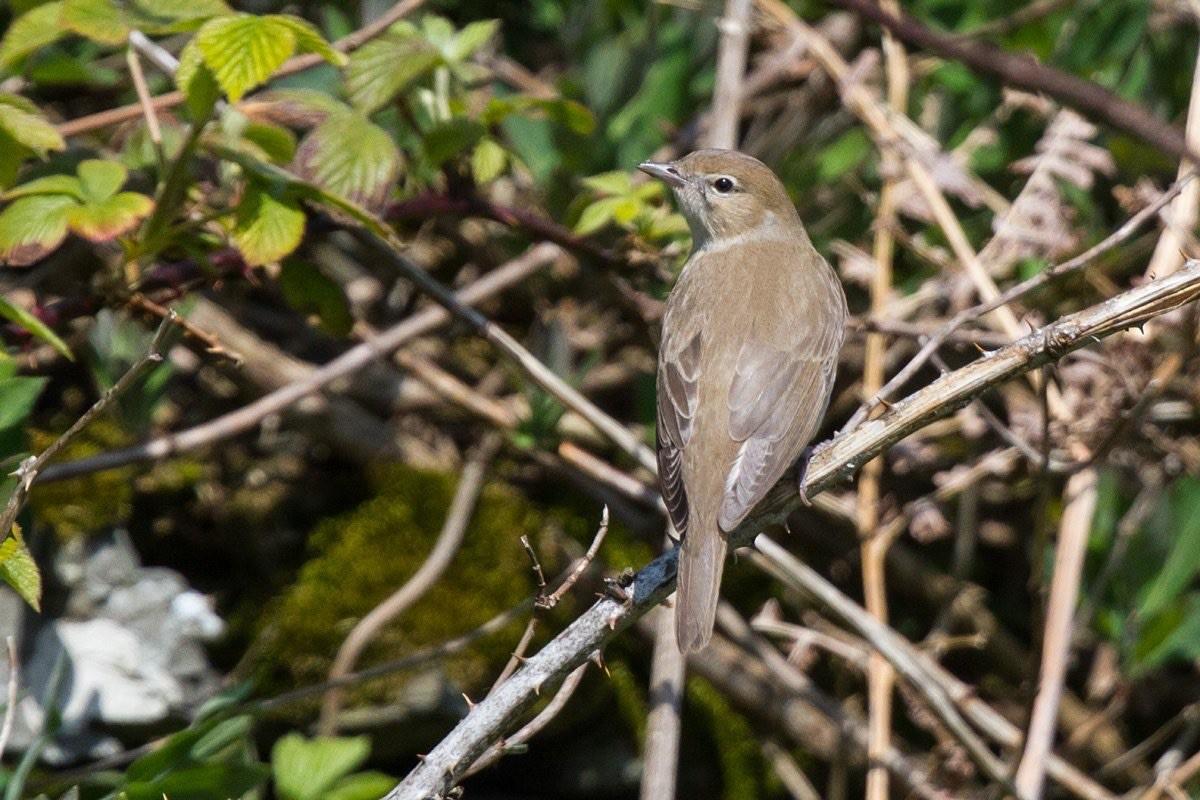 Garden Warbler (Neil G Morris)