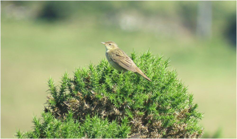 Grasshopper Warbler (Sheila Norris)