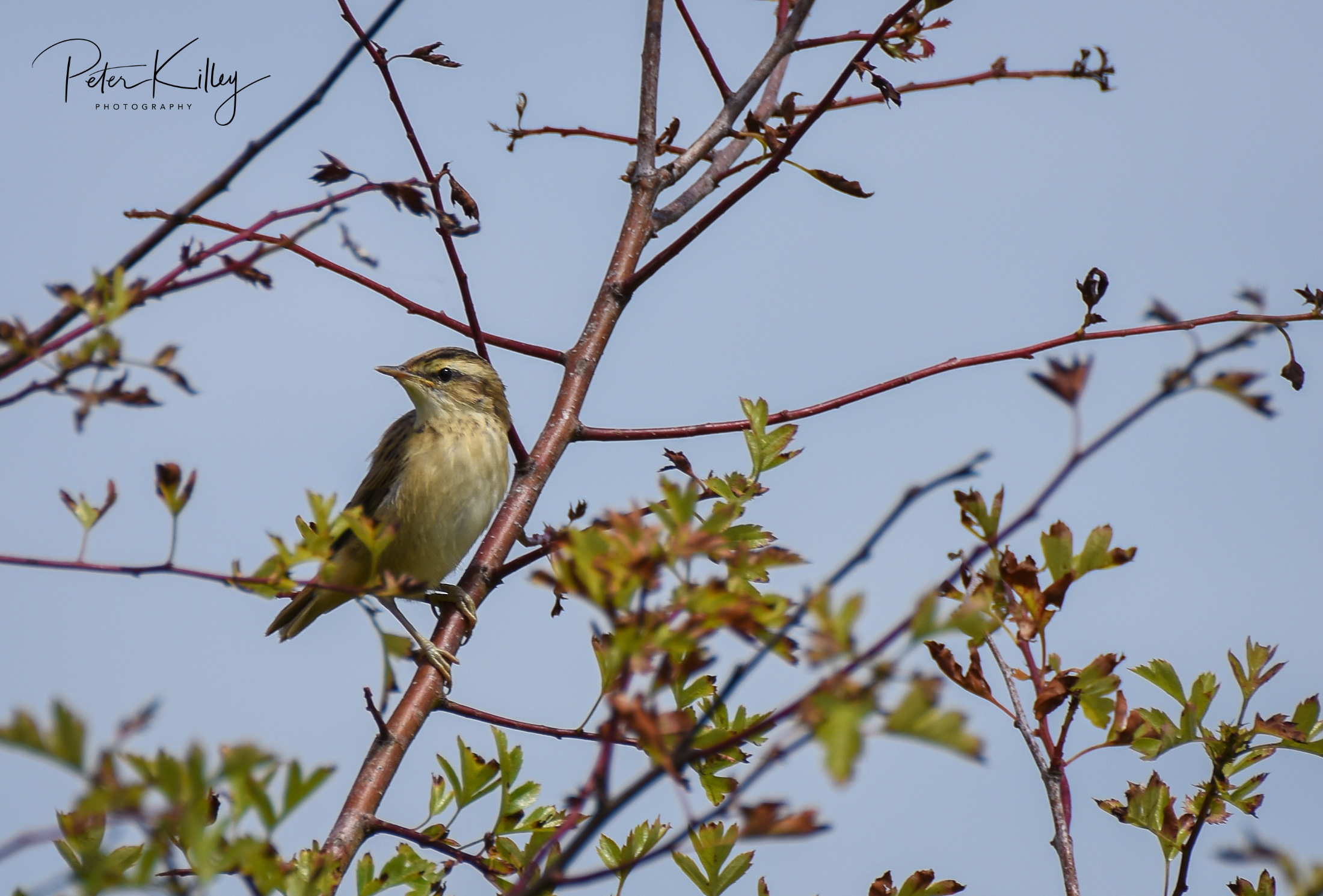 Sedge Warbler (Peter Killey)