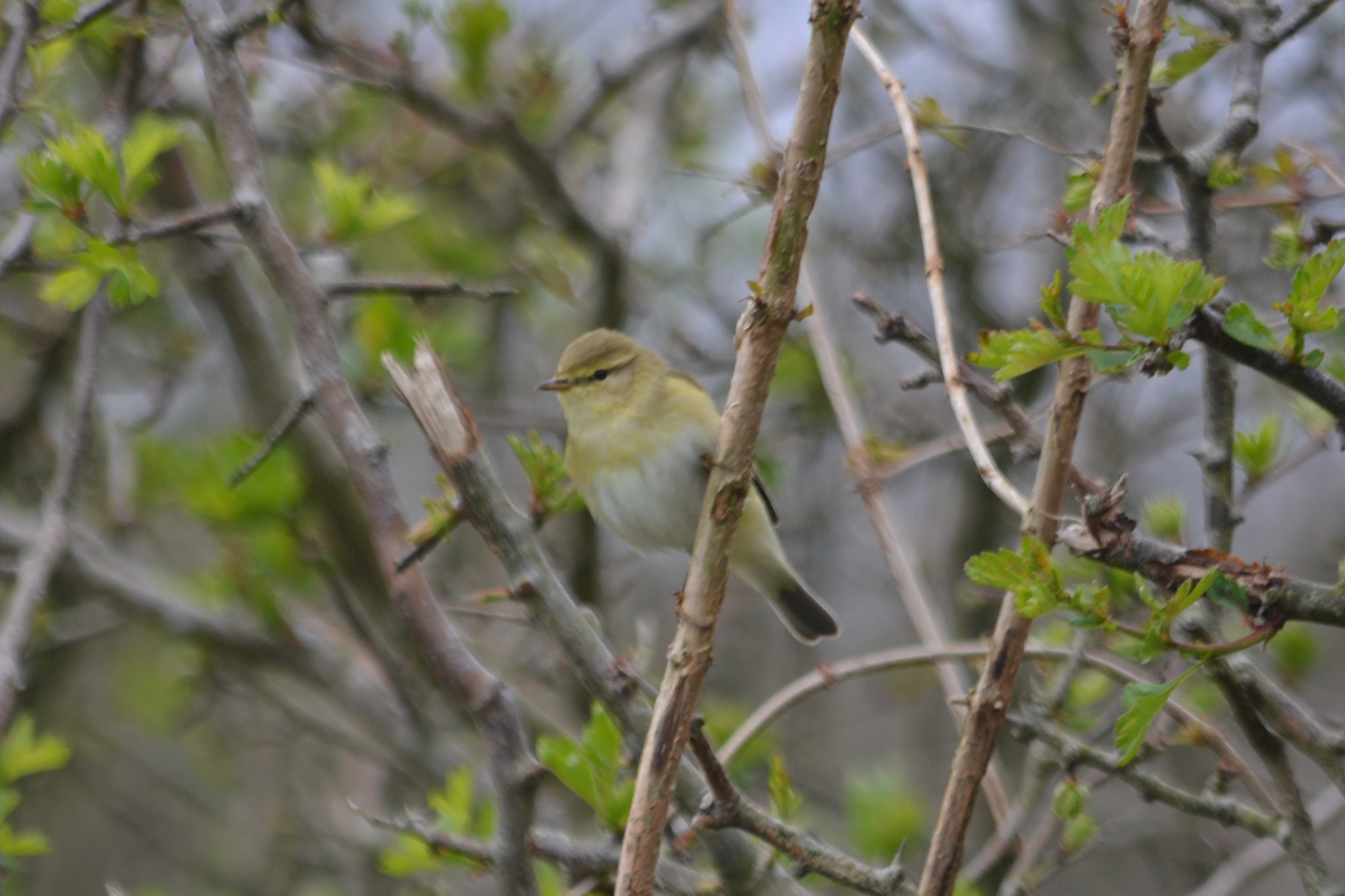 Willow Warbler (Eve Aycock)