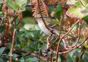 Yellow-browed warbler (Brian Liggins)