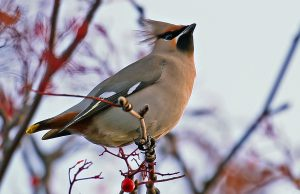 Waxwing (John Donnelly)