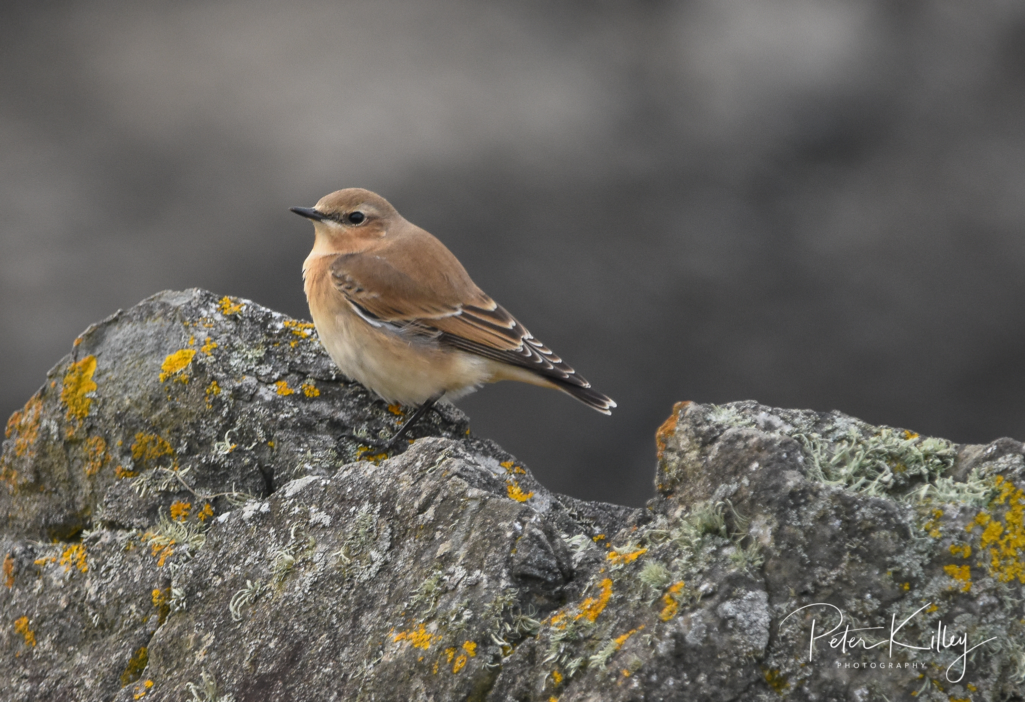 Wheatear (Peter Killey)