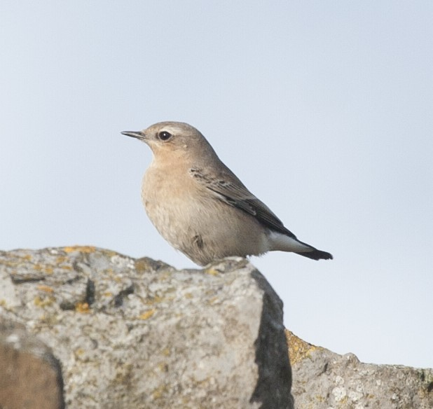 Northern Wheatear (Adam Denard)