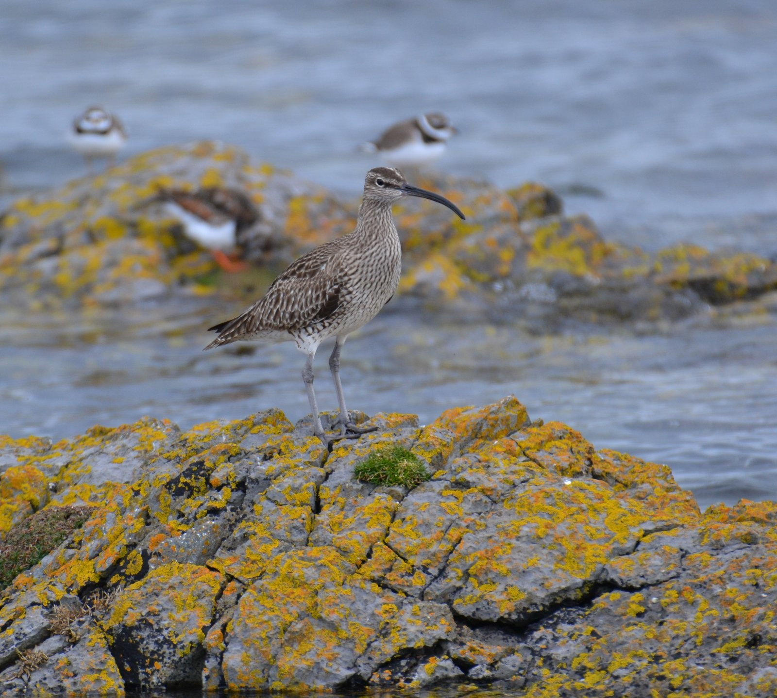 Whimbrel (Stephen Whittaker)