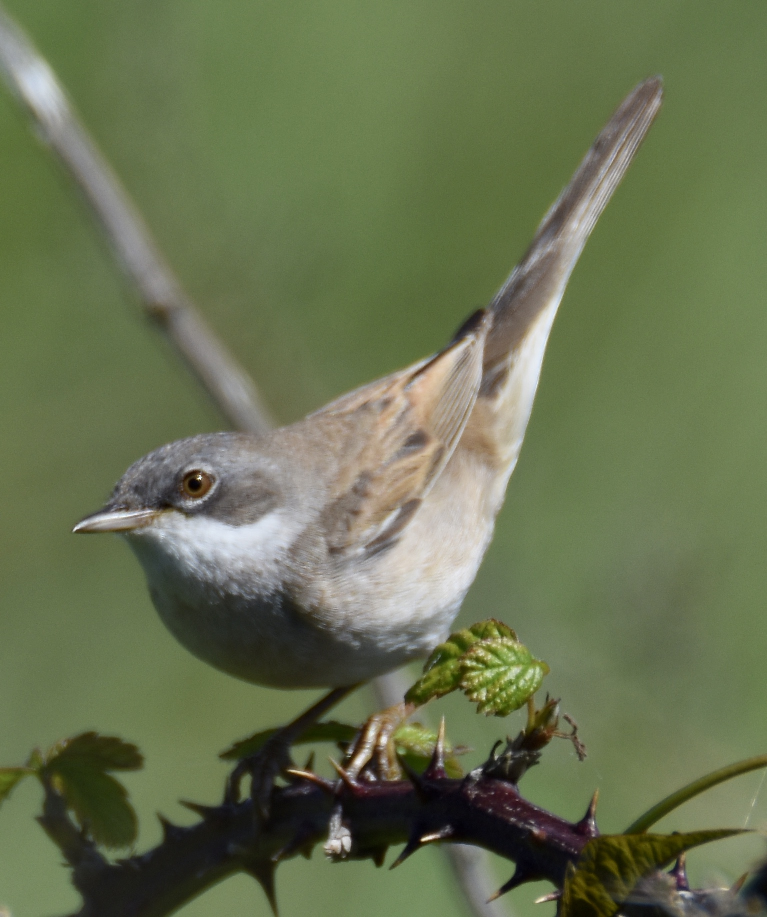 Whitethroat (Michael Coupe)