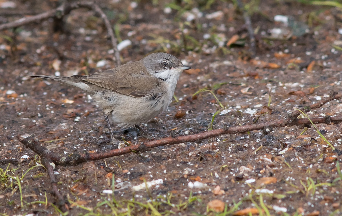 'Eastern' Lesser Whitethroat