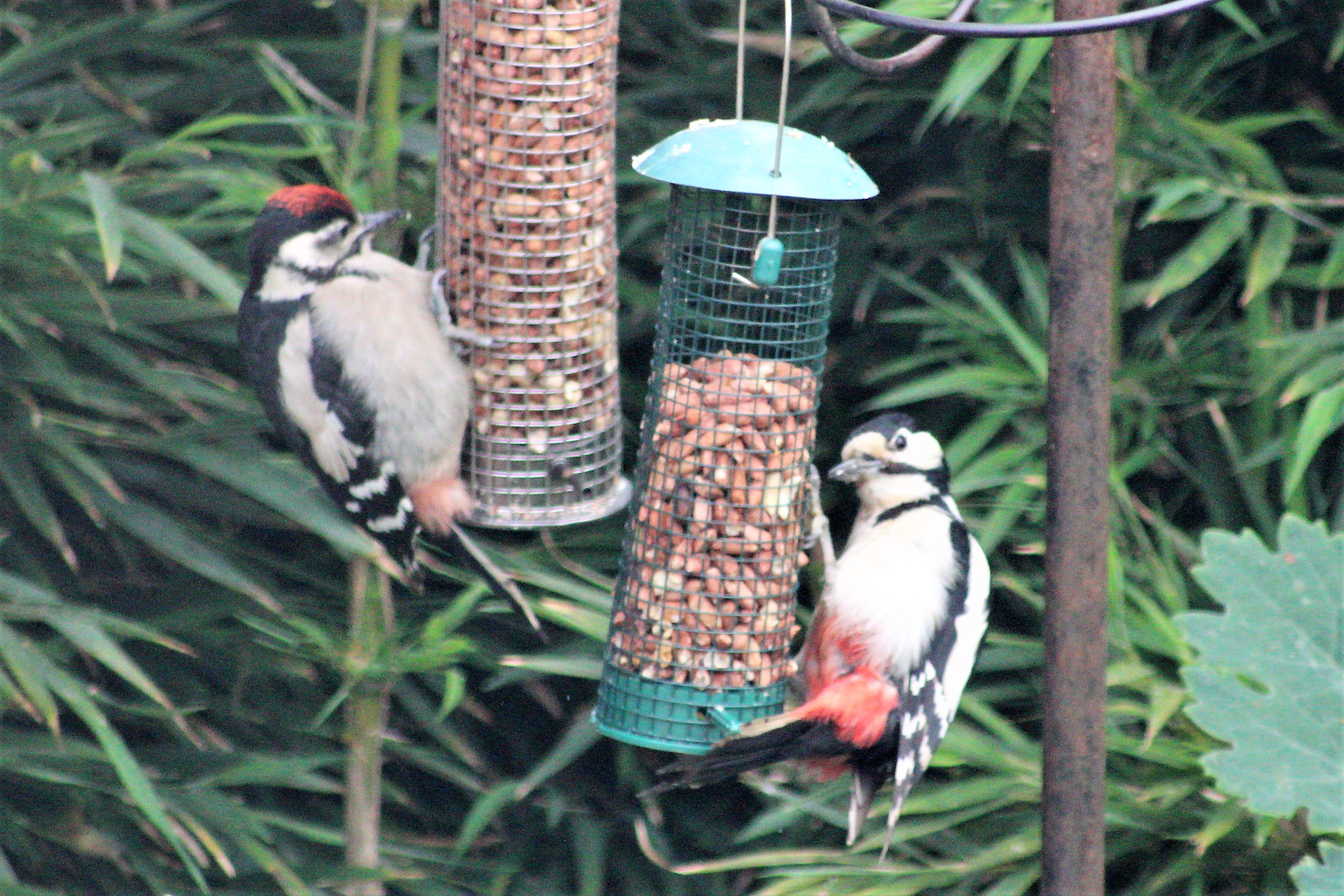 Great Spotted Woodpecker (Steve Crellin)