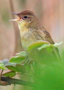 Grasshopper Warbler (Neil G Morris)