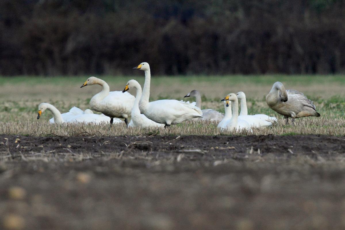 Whooper Swans (Neil G Morris)