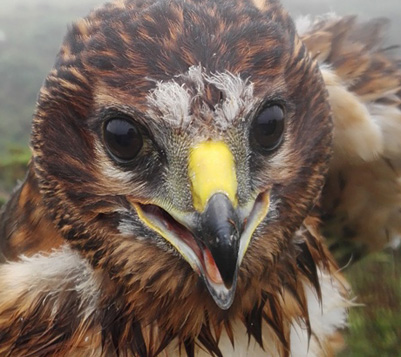 Aalin, the satellite tagged Manx Hen Harrier takes to the air