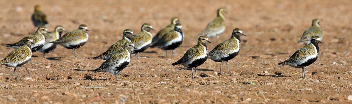Golden Plover (Neil Morris)