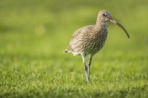 Curlew: declining rapidly (Neil Morris)