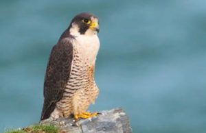 Peregrine: still a regular sight (Neil Morris)