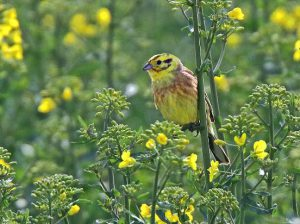 Yellowhammer (Neil Morris)
