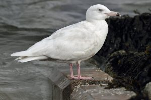 Glaucous Gull – could this spectacular Arctic wanderer be seen this year for the very first time during an Isle of Man Christmas Bird Race? (Image © Neil G Morris)