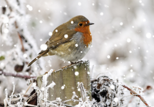 robin_with_snow_overlay