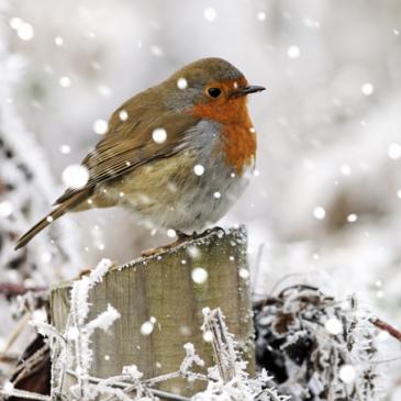Join in the fun of the Isle of Man Christmas Bird Race!