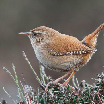 Manx BirdLife 'My Favourite Bird' Competition, Summer 2020
