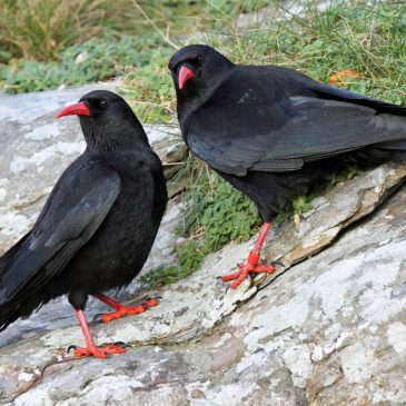 Captivated by the charm of Choughs