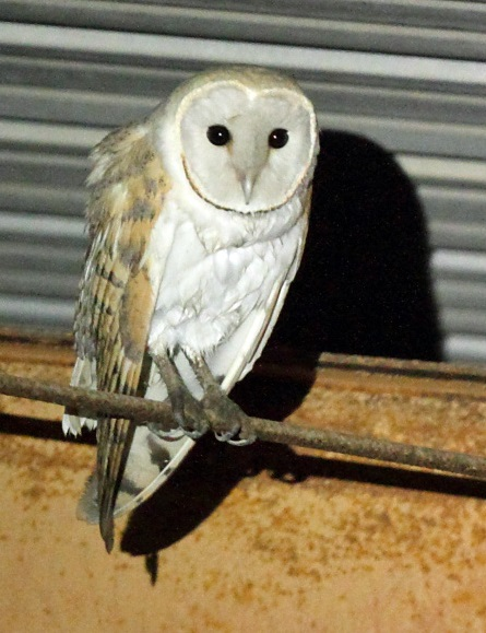 Night Owls May Face Special Challenges >> Barn Owl Project Can You Help Manx Birdlife