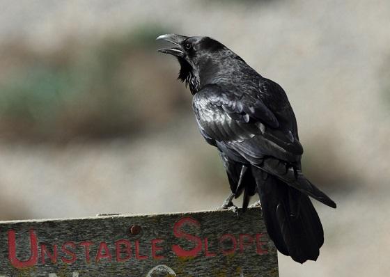 Raven (Neil G Morris)
