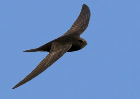 Common Swift (© Pete Hadfield)
