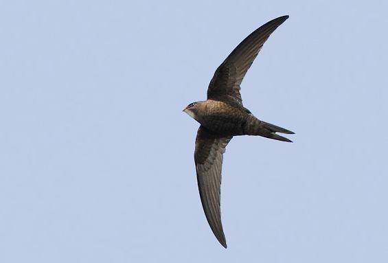 Common Swift (© Pete Hadfield)